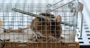 Mausfalle 310x165 - Kammerjäger – professionelle Hilfe bei Plagegeistern