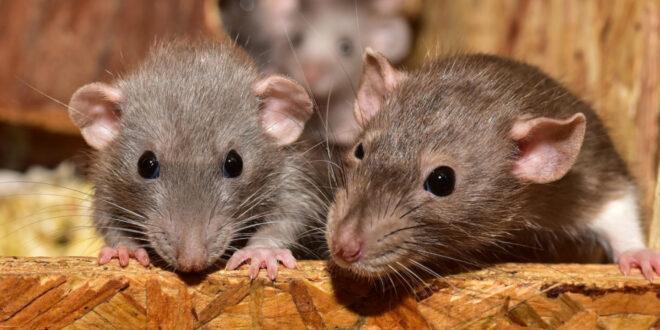 Rattenplage im Haus – so wird das Ungeziefer bekämpft
